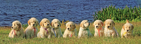 PIX-PAGES-0416_Golden_Pups