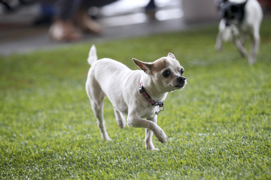 Chihuahuas of all shapes and sizes took part in the fun, family friendly event.