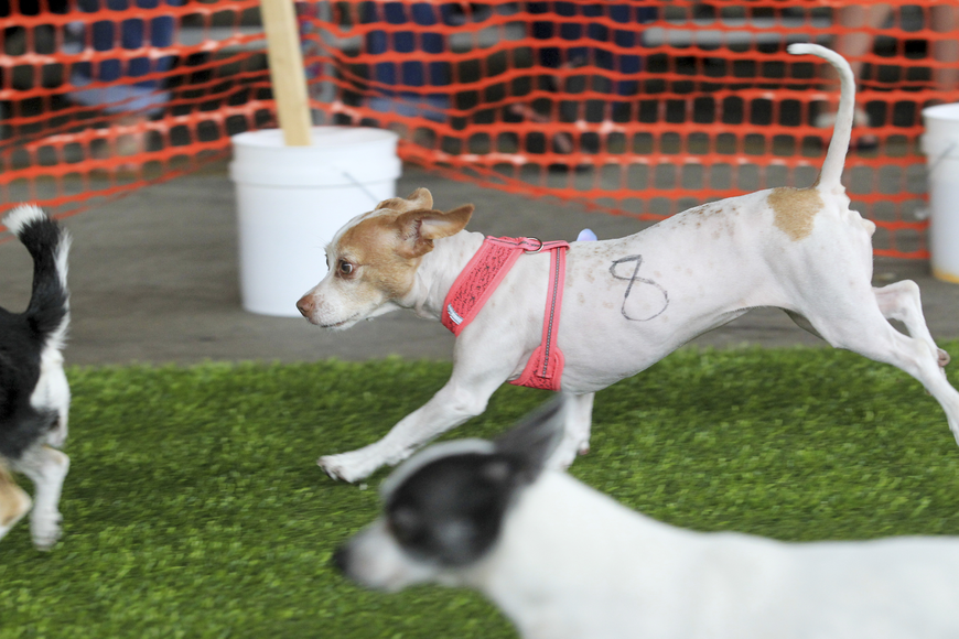 Chihuahuas race down a grassy mat as they look to take home the top prize.