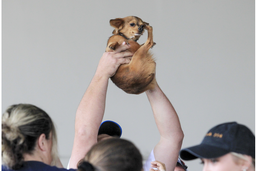 Joe Roberge holds up his dog, Zeus, above his head after winning the 6th Annual Running of the Chihuahuas.